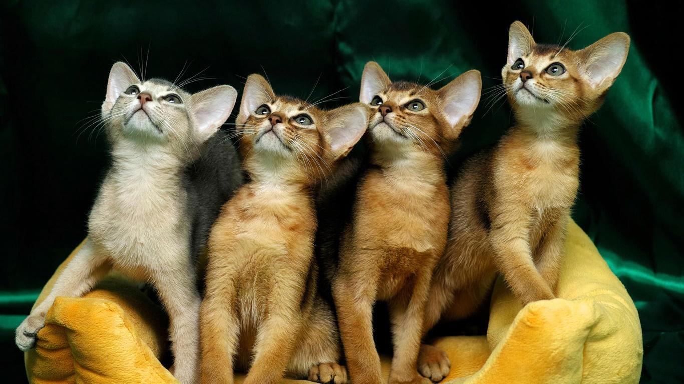 四かわいい子猫 デスクトップの壁紙 1366x768 壁紙をダウンロード Ja Hdwall365 Com