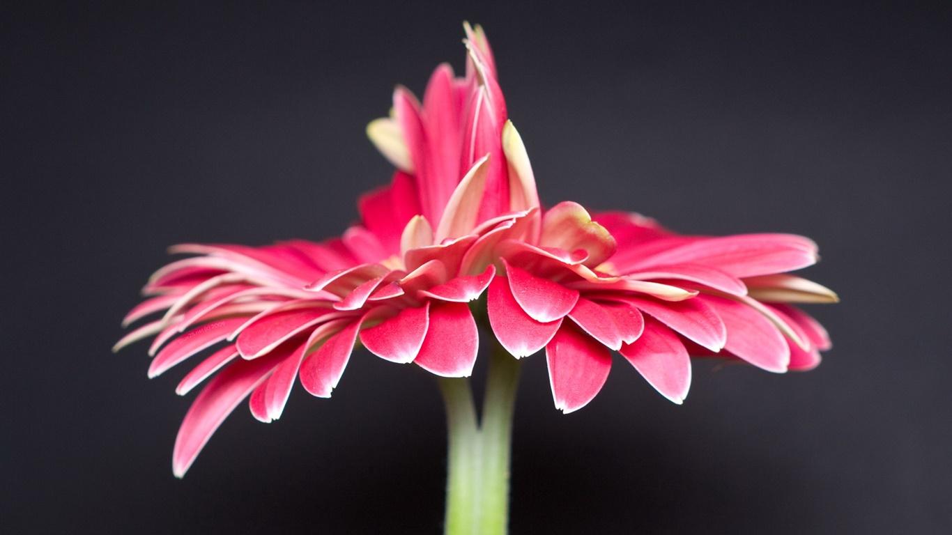 ロンリーピンクの花 黒の背景 デスクトップの壁紙 1366x768 壁紙をダウンロード Ja Hdwall365 Com