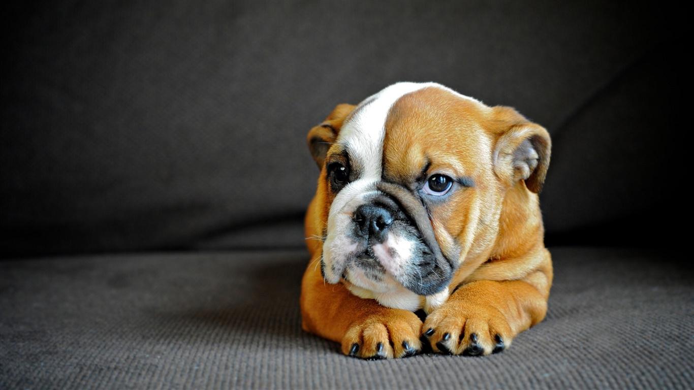 かわいい英語ブルドッグ 子犬 デスクトップの壁紙 1366x768 壁紙をダウンロード Ja Hdwall365 Com