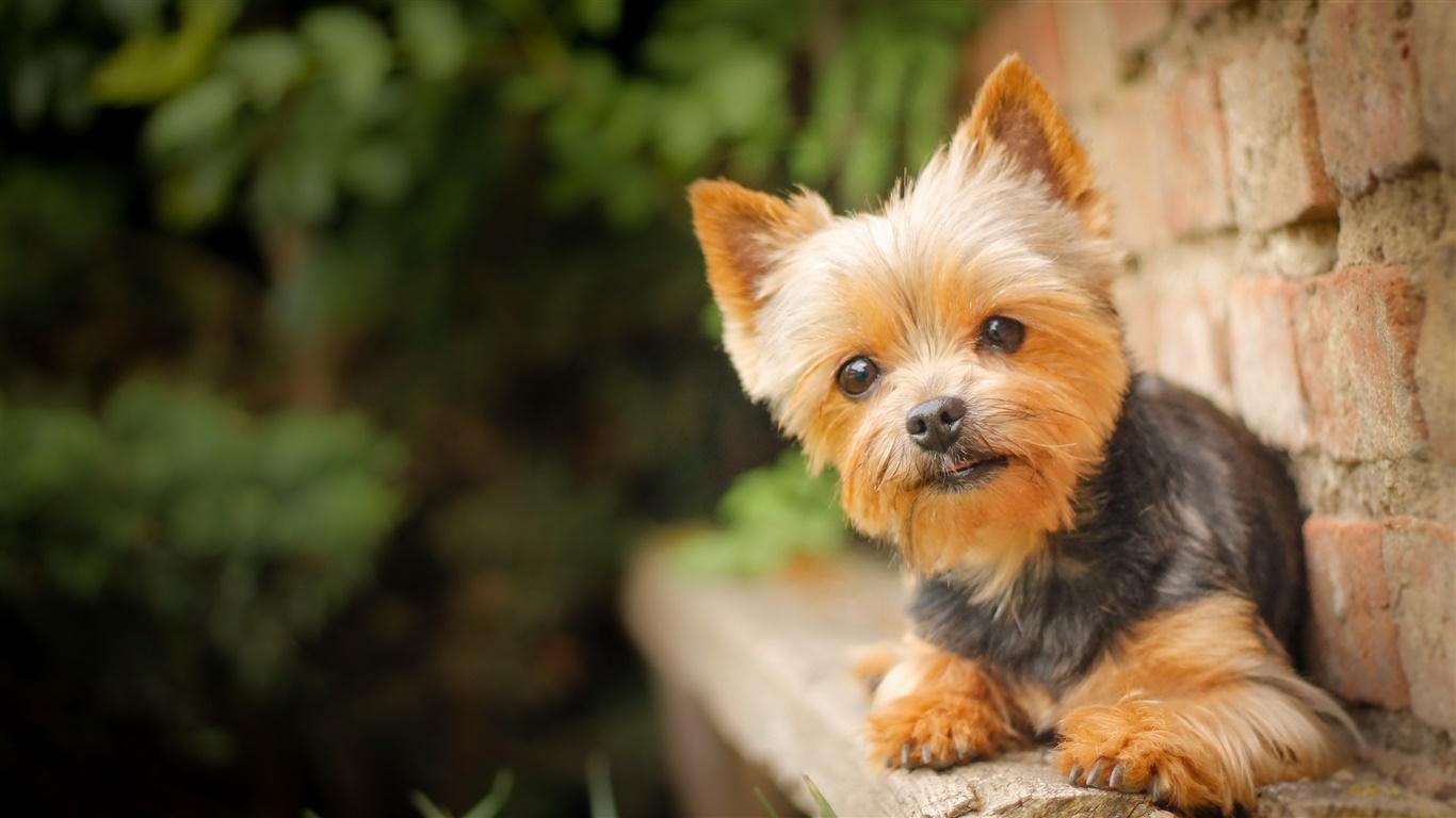 かわいいペット 小さな犬 デスクトップの壁紙 1366x768 壁紙をダウンロード Ja Hdwall365 Com